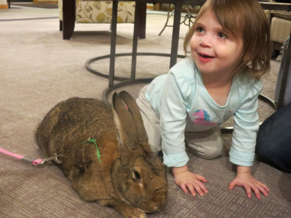 A little girl with our therapy bunny named Betsy